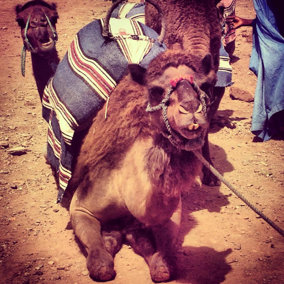 Marrakesh camal